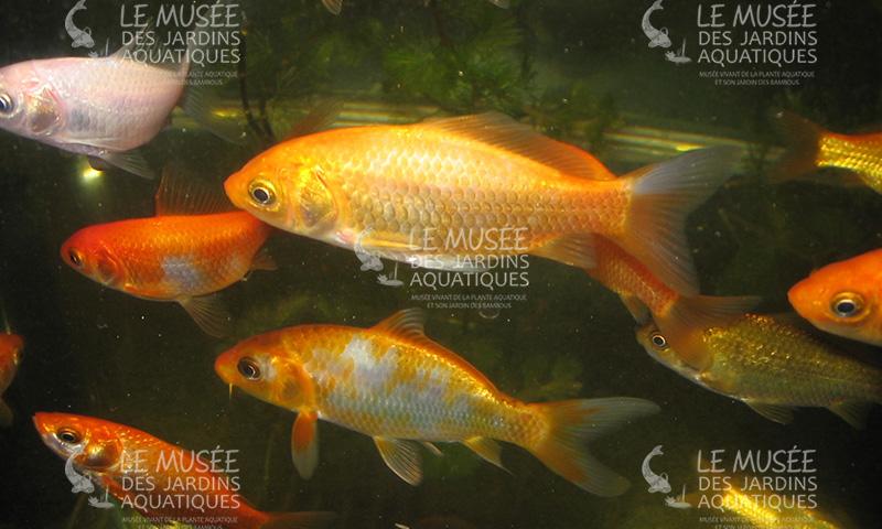 Les jardins aquatiques triplancar - Bassin poisson rouge sans filtre roubaix ...
