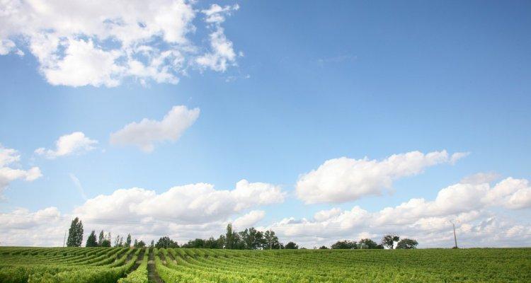 Vignes domaine d'arton Gers