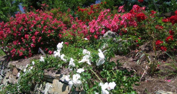 Rosiers en fleur