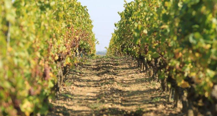 Les pieds de vigne, cépage Chenin Blanc, aux abords du château.