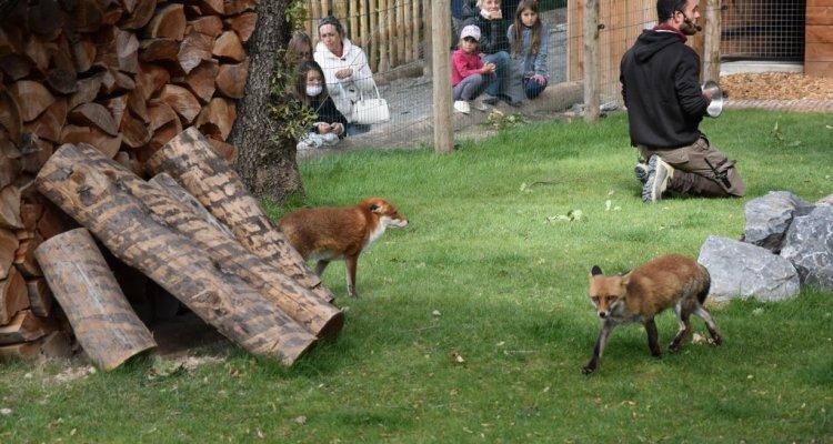 animation renards parc animalier de serre poncon