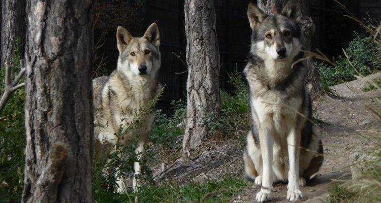 Loups parc animalier de serre poncon