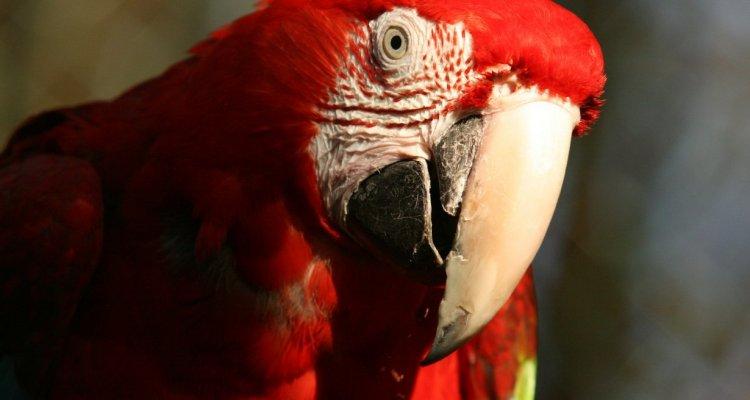 perroquet argonne découverte