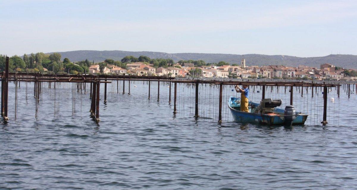 Bassin de thau huîtres