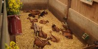 Les chèvres de la Saffrie, Pays de Vire, Calvados, Normandie