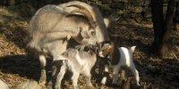 Aoubre, l'aventu chèvresre nature
