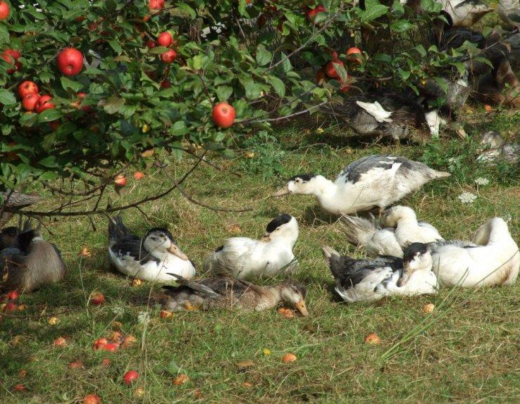 Canards élevés en plein air