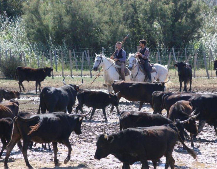 chevaux et taureaux Camargue