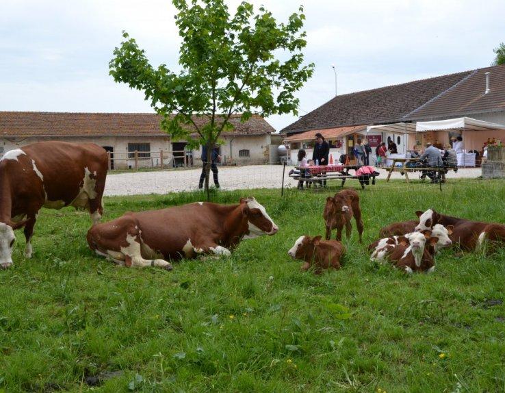 les vaches montbéliardes