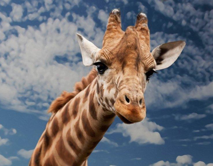 Girafes Zoo de la Boissière du Doré