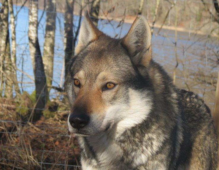 Loup Parc Animalier du Hérisson