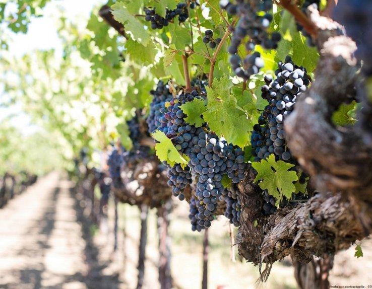 Grappes raisin vignes