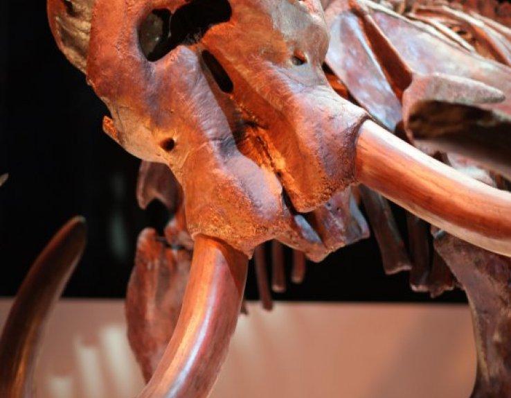 Mammouth préhistoire squelette