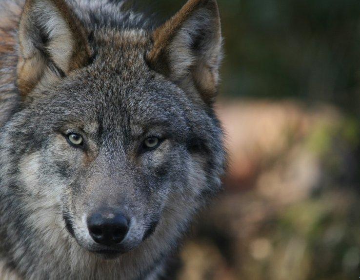 Loup parc argonne découverte