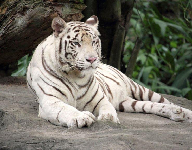 Tigre blanc du bengal