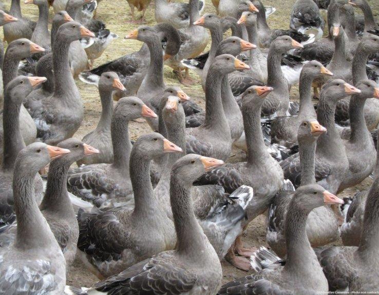 Ferme foie gras Bas-Rhin alsace